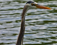 Blue Heron *Picture taken by me*