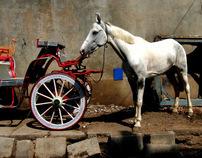 Horses And Horse Drawn Carts Of Bangalore, India