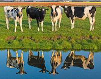 Cows in a Dutch landscape.