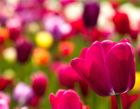 Dutch tulips and other bulb flowers