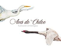 Ilustración aves de Chiloe