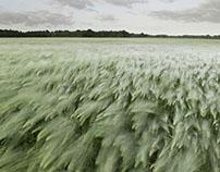 cornfields near hamburg