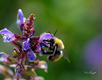 Bees and a Lepidoptera