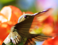 Hummingbirds // Colibríes