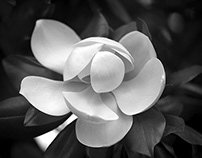 Magnolia Tenderness