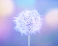 Tender dandelion