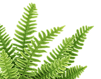 Ferns - Illustrations for Garden Design Magazine