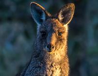 Kangaroo in Golden Hour Light