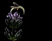 The dark hero of lavender.