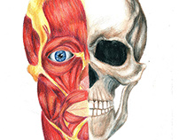 Anatomy Illustration Study