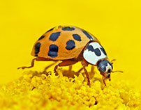 Ladybird Macro HD Wallpaper 1920x1080 Full HD