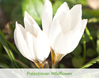 palestinian Wildflower