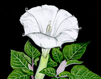 Sacred Datura (Moon Flower)
