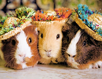 WANTED: 3 GUINEA PIGS