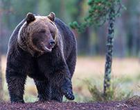 Eurasian brown bear (Ursus arctos arctos)