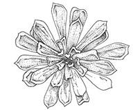 Succulent Pen Illustrations