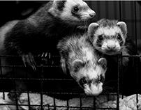 the ferrets : digital photography