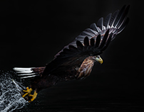 Sea Eagle Collection 19