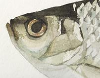 Magyarország halfaunája - Fish Fauna of Hungary