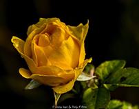 Rose Garden at Fairhope Pier