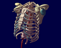 Aorta, Stomach, and Ribcage 3D Model