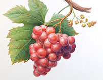 Caspari's Vineyard