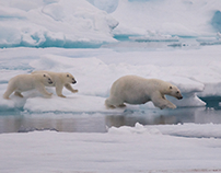 Let's Go for A Dip! (Polar Bears in Greenland)