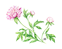 Watercolor_painting of a peony flower