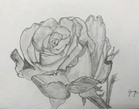 Rose - pencil drawing