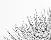 Snowy Sparrows