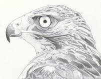 Hawk study