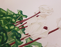 White Cyclamen - Botanical Illustration
