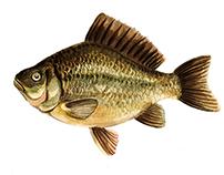 Karas fish