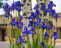 Irises and Birch Tree