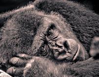 Lowland Gorilla Portraits