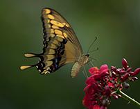 Papilionidae (Papilio thoas)