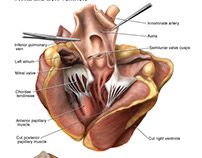 Anatomy of Sheep Heart