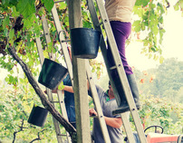 Grapes Harvest