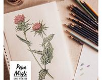 Cardo Mariano Ilustración Botánica