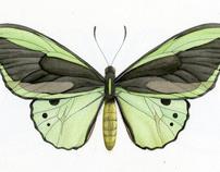 Australian Butterflies