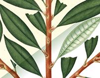 Edición láminas [Flora de la Real Expedición Botánica]