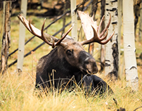 Moose in the Aspens