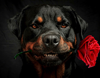 Rottweiler in love.