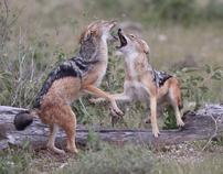 Namibia: Lions of Etosha