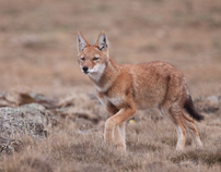 Ethiopia: Wolves of the Sanetti Plateau