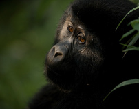 Chimpanzee conservation in Uganda