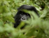 Gorilla tourism in Rwanda