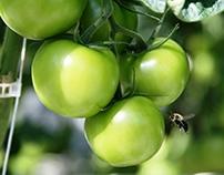 Village Farms Tomato Ad