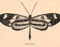 Scientific Illustration - Mechanitis lysimnia