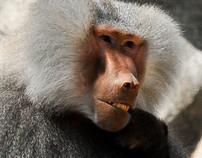Hamadrayas Baboon Portraits